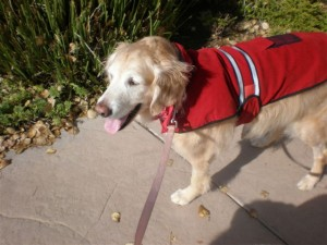 Mackenzie on her 1st walk in her new red coat.