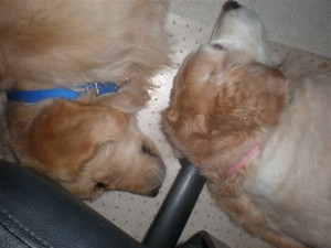 Kobe & Mackenzie resting under my chair while I'm sitting in it.